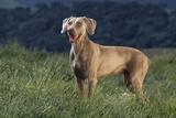Weimaraner Standing in Field Fotoprint van  DLILLC