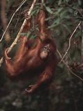 Orangutan Fotografisk trykk av  DLILLC