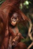 Baby Orangutan Clinging to its Mother Fotografie-Druck von  DLILLC