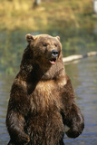 Grizzly Standing in Stream Photographic Print by  DLILLC