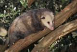 Virginia Opossum in Tree Lámina fotográfica por  DLILLC