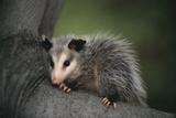 Baby Virginia Opossum on Branch Fotografie-Druck von  DLILLC