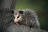 Baby Virginia Opossum on Branch Lámina fotográfica por  DLILLC