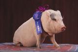 Blue Ribbon Pig Fotografisk tryk af  DLILLC