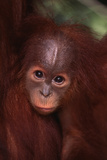 Baby Orangutan Clinging to its Mother Fotografisk trykk av  DLILLC