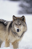 Gray Wolf Standing in Snow Reproduction photographique par  DLILLC