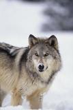 Gray Wolf Standing in Snow Fotoprint av  DLILLC