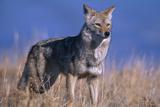 Coyote in Field Fotografie-Druck von  DLILLC