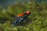 Poison Arrow Frog in Foliage Reproduction photographique par  DLILLC