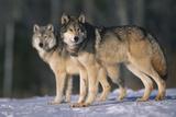 Gray Wolves in Snow Fotoprint van  DLILLC