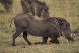 Warthog Digging for Food with Snout Lámina fotográfica por  DLILLC