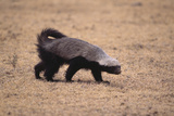 Ratel, or Honey Badger Photographic Print by  DLILLC