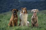 Bullmastiff, Collie and Weimaraner in Field Fotoprint van  DLILLC