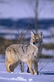 Coyote Walking in Snow Fotografie-Druck von  DLILLC