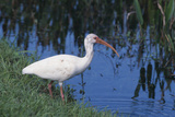 White Ibis Standing by Water Reproduction photographique par  DLILLC