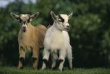 Two Pygmy Goats Fotografie-Druck von  DLILLC