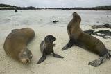 Galapagos Sea Lions and Pup on Beach Lámina fotográfica por  DLILLC