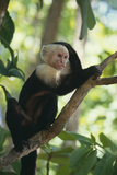 Capuchin Sitting on Tree Limb Photographic Print by  DLILLC
