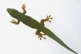 Giant Day Gecko Reproduction photographique par  DLILLC