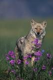 Coyote in Field with Wildflowers Fotografie-Druck von  DLILLC