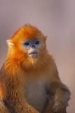 Golden Snub-Nosed Monkey Lámina fotográfica por  DLILLC