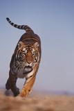 Bengal Tiger Running Fotografie-Druck von  DLILLC