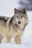 Gray Wolf in Snow Fotoprint van  DLILLC