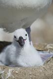 Black-Browed Albatross Chick Reproduction photographique par  DLILLC