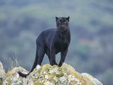 Schwarzer Panther Fotografie-Druck von  DLILLC