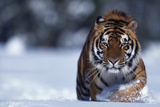 Bengal Tiger Walking in Snow Fotoprint van  DLILLC