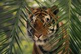 Bengal Tiger behind Palm Fronds Fotografie-Druck von  DLILLC
