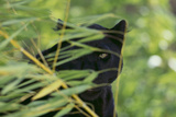Black Leopard behind Leaves Photographic Print by  DLILLC