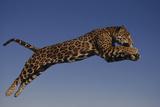 Jaguar Jumping through Sky Reproduction photographique par  DLILLC