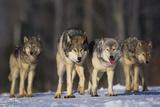 Gray Wolf Pack in Snow Fotografisk trykk av  DLILLC