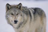 Gray Wolf in Snow Fotografisk tryk af  DLILLC