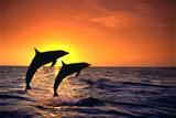 Bottlenosed Dolphins Leaping at Sunset Fotografisk tryk af  DLILLC