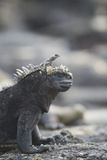 Marine Iguana Reproduction photographique par  DLILLC