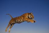 Bengal Tiger Jumping Reproduction photographique par  DLILLC