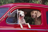 Jack Russel and Weimaraner Sitting in a Car Fotoprint van  DLILLC