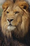 Lion Fotografisk trykk av  DLILLC