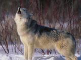 Gray Wolf Howling in Snow Fotoprint van  DLILLC