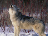 Gray Wolf Howling in Snow Fotoprint av  DLILLC