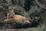 Lynx rufus Reproduction photographique par  DLILLC