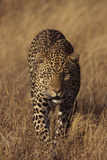 Leopard Fotografisk tryk af  DLILLC