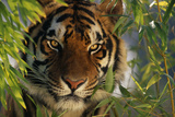Tiger Sitting among Bamboo Leaves Fotoprint av  DLILLC