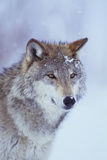 Gray Wolf in Snow Fotoprint van  DLILLC