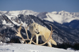White Gray Wolf next to Antlers Reproduction photographique par  DLILLC