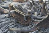 Marine Iguanas Reproduction photographique par  DLILLC