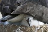 Black-Browed Albatross Chick Peeking Out Reproduction photographique par  DLILLC