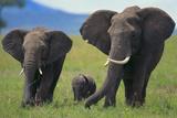 African Elephant Calf Walking between Adults Fotografisk tryk af  DLILLC